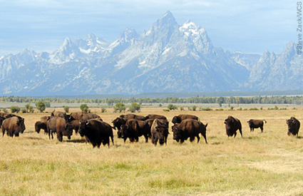 Bison are also found in national parks, wildlife refuges, state parks and on private lands. Additionally, bison production is an important economic driver in many states.